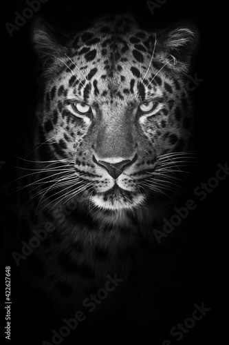 Severe minimalistic portrait of a mustachioed cold leopard who strictly looks out of the night, black and white photo