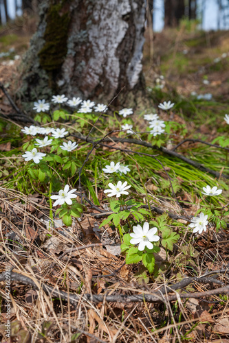 Billede på lærred Forest meadow covered with many beautiful white flowers of anemone nemorosa (win