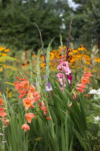 Photo Pink, orange, blue and crimson gladioli bloom in summer in a flower bed