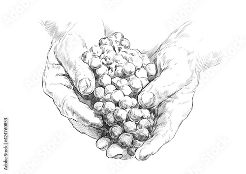 Obraz na płótnie sketch of hands of a winemaker with a bunch of grapes on a white background