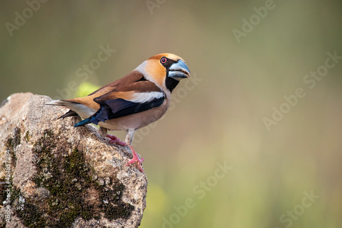 Canvastavla hawfinch perched on a branch blur background