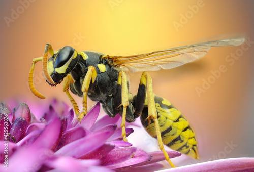Fényképezés Macroscopic detail of a wasp
