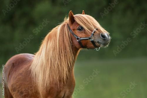 Canvas Portrait of beautiful miniature shetland breed pony in summer