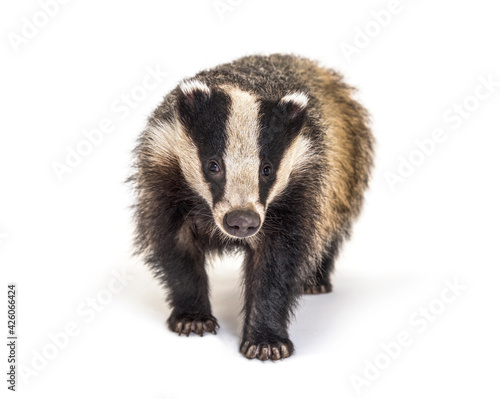 Fotografia European badger walking towards the camera, six months old, isolated
