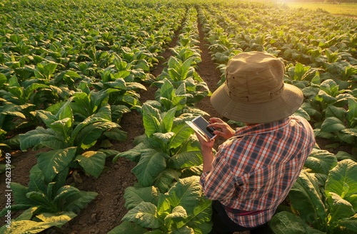 Farmer tobacco Plantation checking quality by smartphone Fotobehang