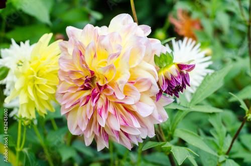 Fotografija dahlia flower