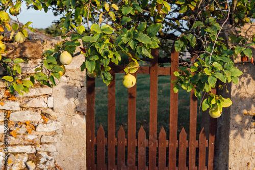 Leinwand Poster Un portillon rouillé et un mur de jardin avec un cognassier
