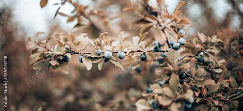 Obraz na płótnie Sloe berries on blackthorn (Prunus spinosa)