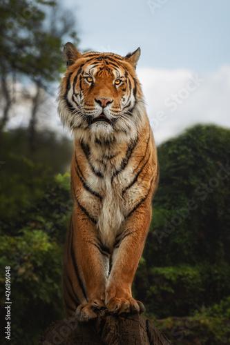 Obraz na płótnie Bengal tiger is a Panthera tigris tigris population native to the Indian subcont