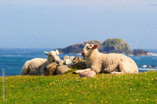 Fototapeta Sheeps on a flowering meadow by the sea