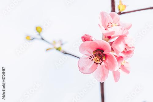 Close up sur une branche de cognassier du japon en fleur et arrière plan blanc Fototapeta