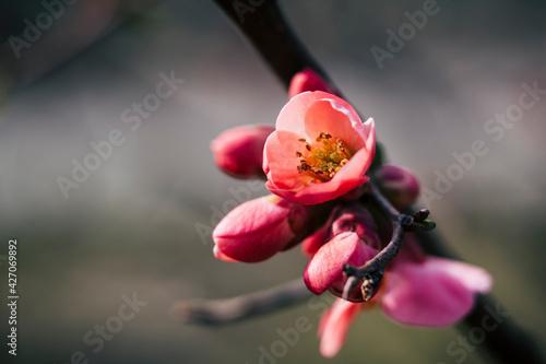 Fotografija Close up sur une branche de cognassier du japon en fleur et arrière plan flou