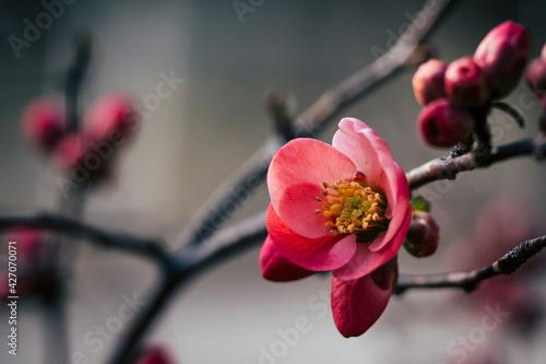 Fotografiet Close up sur une branche de cognassier du japon en fleur et arrière plan flou