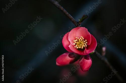 Foto Close up sur une branche de cognassier du japon en fleur et arrière plan flou
