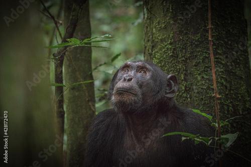 Chimpanzee in Kibale National Park in Uganda, Africa Poster Mural XXL