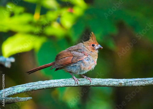 Leinwand Poster Young northern cardinal fledgling puffed up and perched on a tree branch