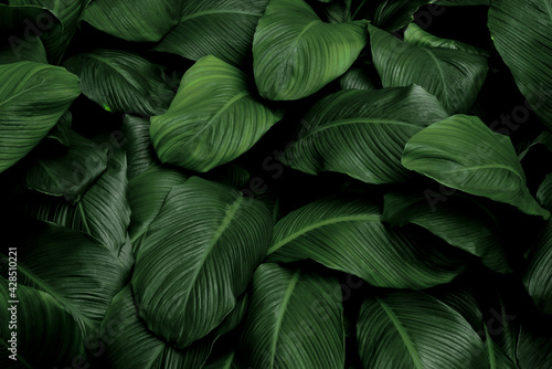 Obraz na płótnie Tropical green leaves on dark background, nature summer forest plant concept