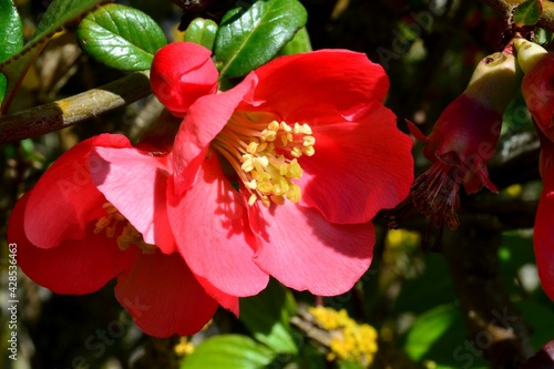 Foto gros plan de jolies fleurs rouge de cognassier au printemps, Île de loisirs de S