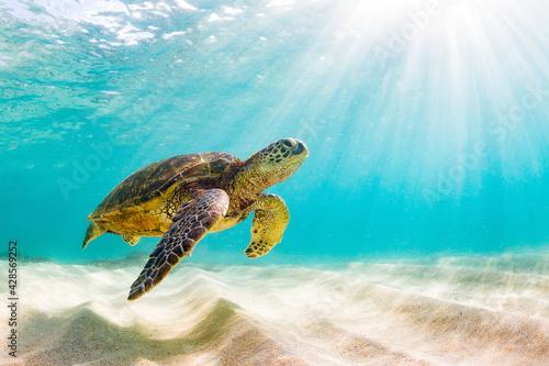 Obraz na plátně turtle on the beach