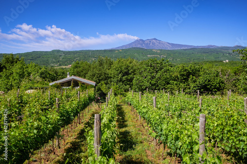 Canvas Print Sicilian vineyards with Etna volcano eruption at background in Sicily, Italy