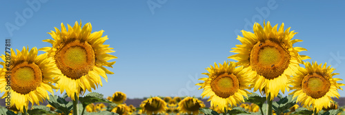 Fotografia Sunflowers in the field