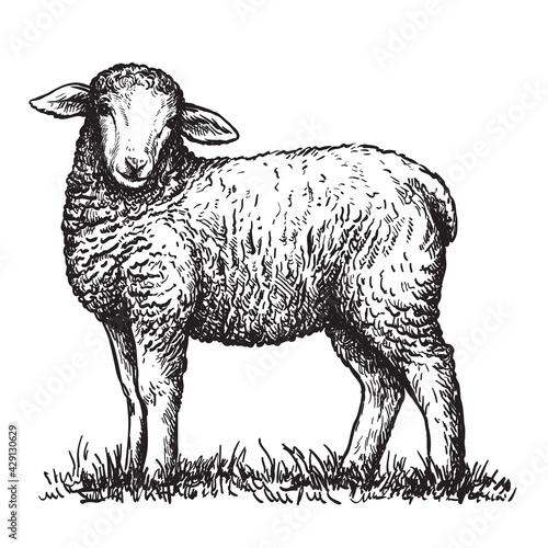 sheep breeding Fototapeta