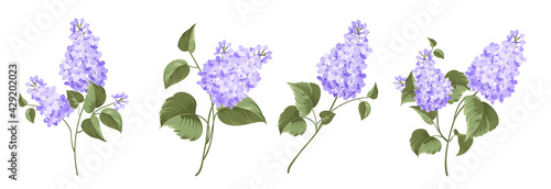Set of differents lilac on white background.