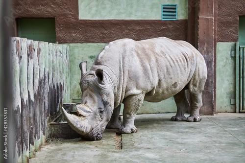Rhino eating at the zoo