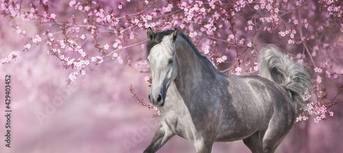 Tableau sur Toile White arabian horse against pink blossom tree
