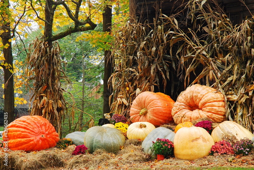 Pumpkins, squash and corn stalks present a wonderful harvest display in October Fototapeta