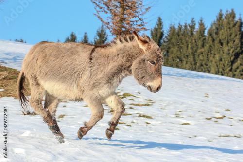 Valokuva portrait of a gray donkey