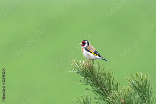 Fototapeta Colorful bird on blurry green background Goldfinch (Carduelis carduelis) on a fi