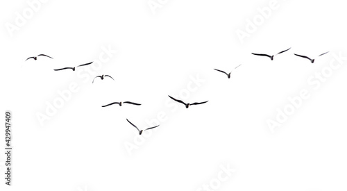 Photo A flock of seagulls in flight isolated on a white