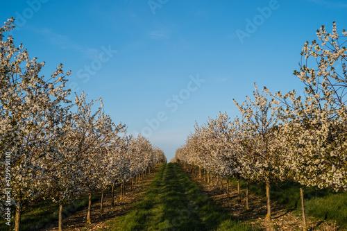 Fotografía cherry trees