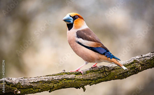 Fotografiet A hawfinch bird standing on a branch