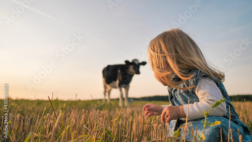 Tela A little girl looks at a young cow in a field on a warm summer evening