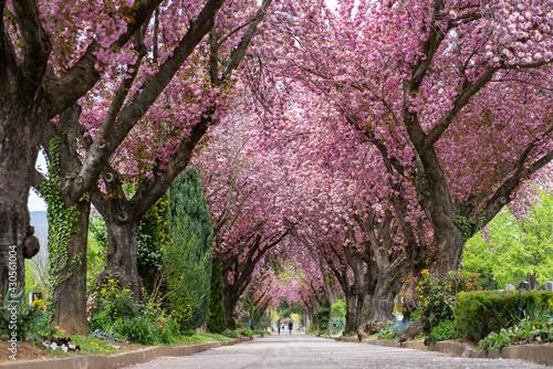 Fotografija Road with blossoming cherry trees