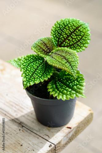 Obraz na plátně Pillea mollis small pot gardening