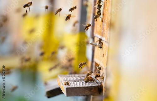 Fotografía bee hive - bee breeding (Apis mellifera) close up