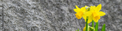 Fotografie, Obraz Bright yellow blooms of spring daffodils against a rock background, spring in th