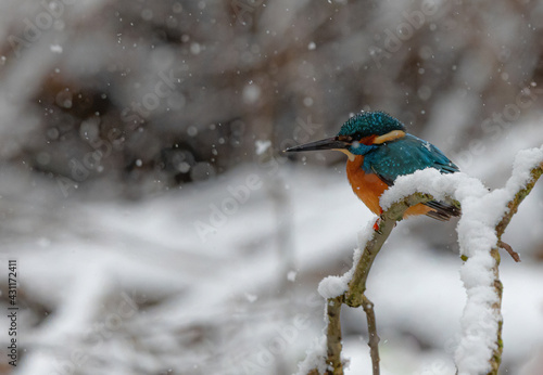 Photo Closeup shot of a common kingfisher bird on a snowy branch