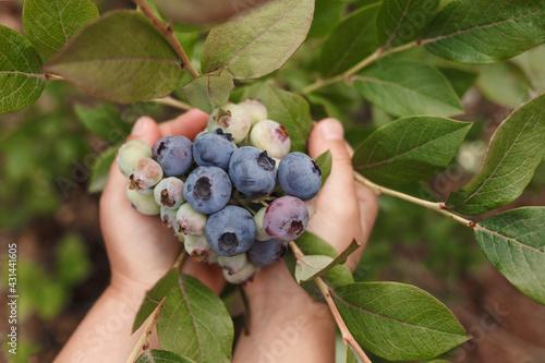 Canvas-taulu Fresh blueberries in children's hands on the bush