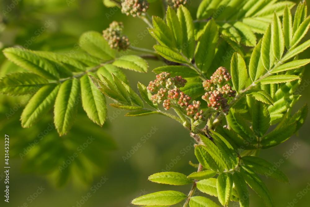 Pąki kwiatowe na tle zielonych, wiosennych liści
