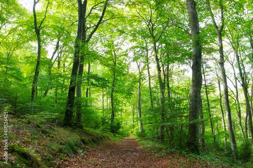 Bosque de Hayas en La Población, Álava, Paíis Vasco, España, en Primavera