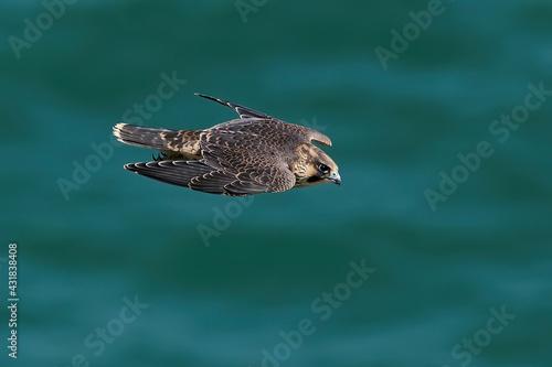 Canvas-taulu Peregrine falcon (Falco peregrinus)