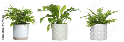 Fototapeta Set with beautiful ferns in pots on white background