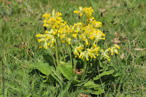 Canvas A yellow Cowlip (Primula veris) growing in a field in the spring sunshine, UK