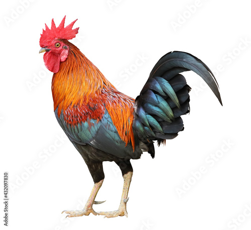Back of colorful free range male rooster isolated on white background Fototapet