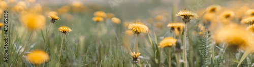 Spring green field with yellow dandelions on a sunny day. Long horizontal banner with copy space. Nature floral background in early summer