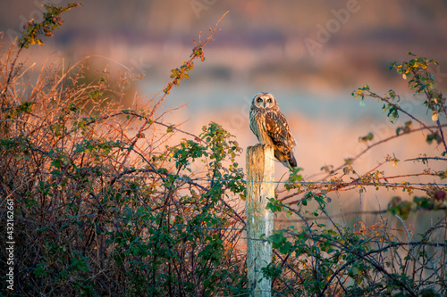Slika na platnu Short eared owl at sunset on wooden post in rural countryside with beautiful pas
